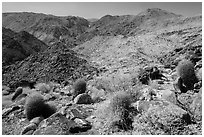 Colorful barrel cacti and Queen Mountains. Joshua Tree National Park ( black and white)