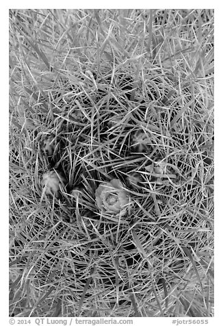 Close-up of barrel cactus in bloom. Joshua Tree National Park (black and white)