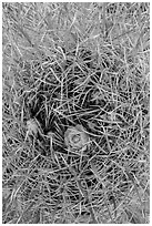 Close-up of barrel cactus in bloom. Joshua Tree National Park ( black and white)