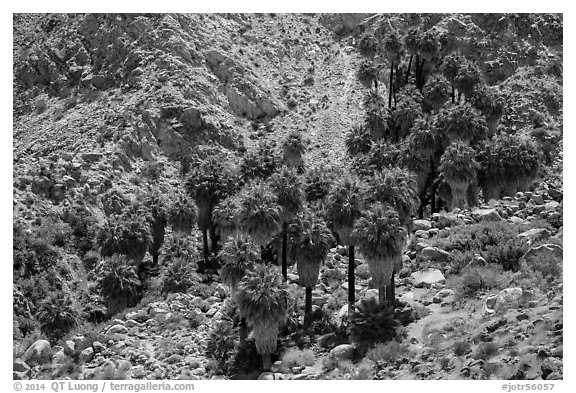 Forty-nine palms Oasis. Joshua Tree National Park (black and white)