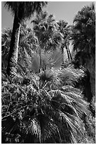 Lush vegetation in 49 Palms Oasis. Joshua Tree National Park ( black and white)