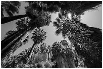 Looking up palm trees in 49 Palms Oasis. Joshua Tree National Park ( black and white)