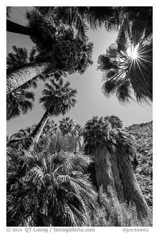 Looking up California palms, Forty-nine palms Oasis. Joshua Tree National Park (black and white)