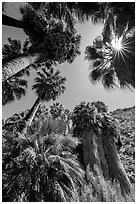 Looking up California palms, Forty-nine palms Oasis. Joshua Tree National Park ( black and white)