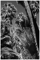 Palms and trunks, Forty-nine palms Oasis. Joshua Tree National Park ( black and white)