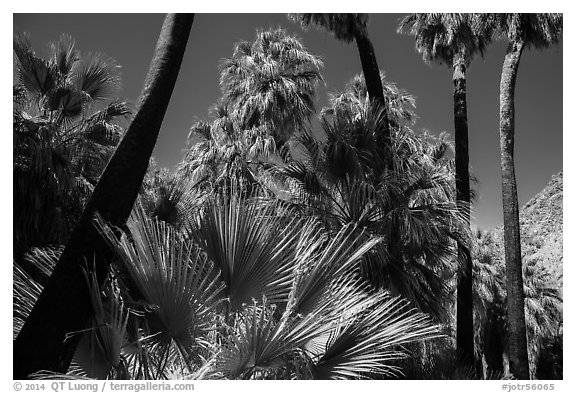 California palm trees, 49 Palms Oasis. Joshua Tree National Park (black and white)