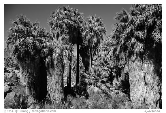 California fan palm trees with frond skirts, 49 Palms Oasis. Joshua Tree National Park (black and white)