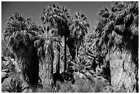 California fan palm trees with frond skirts, 49 Palms Oasis. Joshua Tree National Park ( black and white)