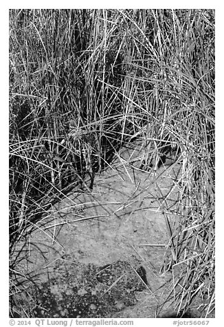 Grasses and pond, 49 Palms Oasis. Joshua Tree National Park (black and white)