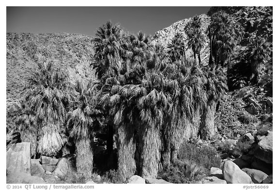 California fan palms, Forty-nine Palms Oasis. Joshua Tree National Park (black and white)