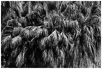 Canopy of California fan palms. Joshua Tree National Park ( black and white)