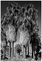 Native California fan palm trees. Joshua Tree National Park ( black and white)