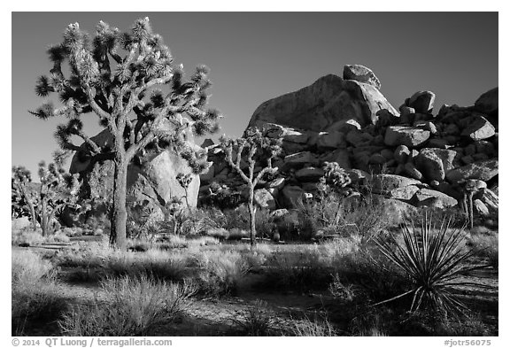 Joshua trees and boulder outcrops. Joshua Tree National Park (black and white)