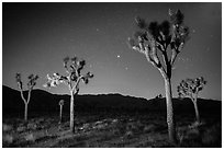 Joshua trees at night. Joshua Tree National Park ( black and white)