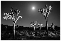 Joshua trees and moon at night. Joshua Tree National Park ( black and white)