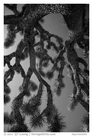 Looking up branches of Joshua tree. Joshua Tree National Park (black and white)