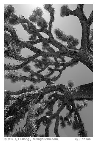Branches of yucca palm (Yucca brevifolia). Joshua Tree National Park (black and white)