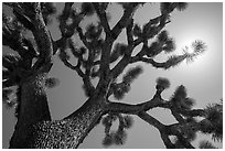 Joshua tree (Yucca brevifolia) and sun. Joshua Tree National Park ( black and white)