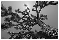 Tree yucca (Yucca brevifolia) and sun. Joshua Tree National Park ( black and white)
