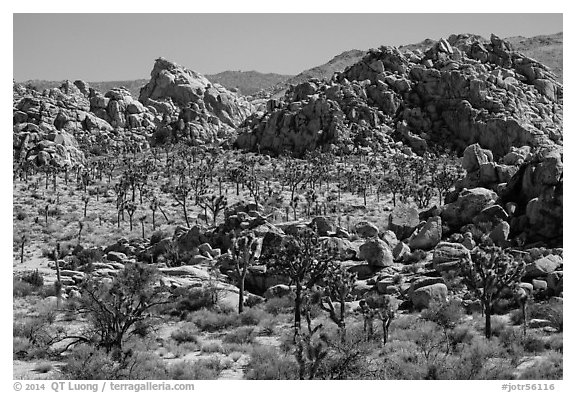 Joshua tree forest and piles of boulders. Joshua Tree National Park (black and white)