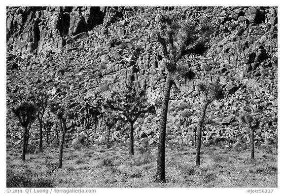 Palm tree yuccas and fractured cliff. Joshua Tree National Park (black and white)