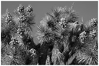 Top of Joshua tree with seeds. Joshua Tree National Park ( black and white)