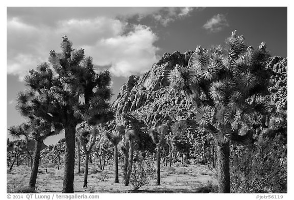 Joshua trees in seed and towering boulder outcrop. Joshua Tree National Park (black and white)