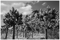Joshua trees in seed and towering boulder outcrop. Joshua Tree National Park ( black and white)