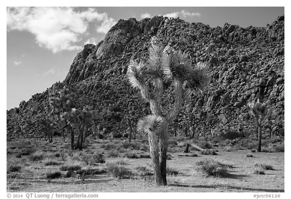 Joshua trees in seed and towering boulder wall. Joshua Tree National Park (black and white)
