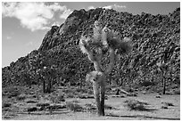 Joshua trees in seed and towering boulder wall. Joshua Tree National Park ( black and white)
