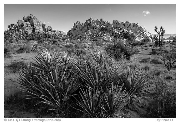 Flowering yuccas and boulders. Joshua Tree National Park (black and white)