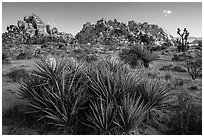Flowering yuccas and boulders. Joshua Tree National Park ( black and white)