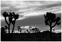 Joshua trees silhouettes at sunrise. Joshua Tree National Park ( black and white)