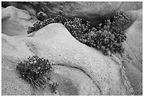Close-up of flowers growing out of boulders. Joshua Tree National Park ( black and white)