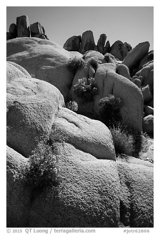 Flowers growing out of boulders near Squaw Tank. Joshua Tree National Park (black and white)