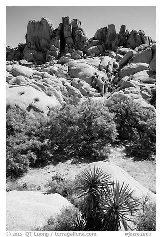 Vegetation in Squaw Tank. Joshua Tree National Park (black and white)