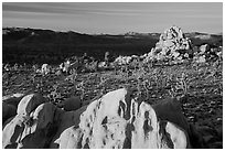 Joshua Trees and rocks at sunrise. Joshua Tree National Park ( black and white)