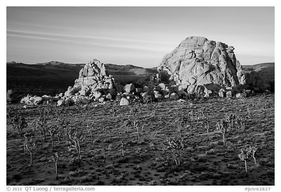 Joshua Trees and large rock formations at sunrise. Joshua Tree National Park (black and white)