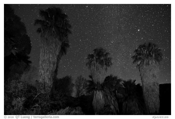 Fan palms, Cottonwood Spring Oasis at night. Joshua Tree National Park (black and white)