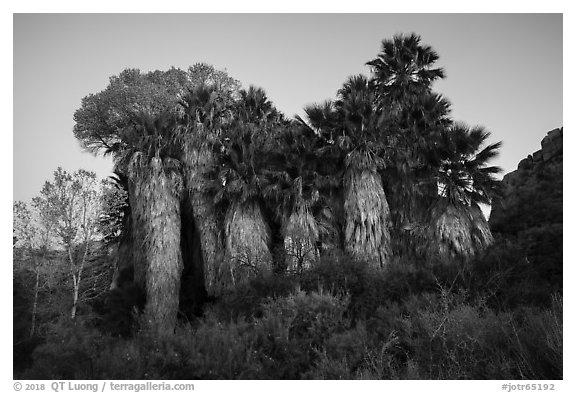 Cottonwood Spring Oasis at dawn. Joshua Tree National Park (black and white)