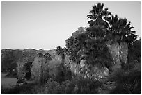 Palm trees and desert wash in Cottonwood Spring Oasis. Joshua Tree National Park ( black and white)
