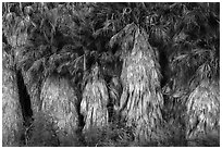 Dead and evergreen leaves on California Fan palm trees. Joshua Tree National Park ( black and white)