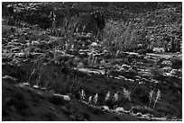 Ridges with desert vegetation. Joshua Tree National Park ( black and white)
