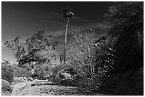 Unnamed oasis with trees and leaves in autumn foliage. Joshua Tree National Park ( black and white)