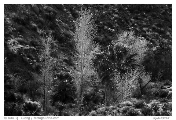Cottonwoods with autumn leaves and palm trees, Cottonwood Spring Oasis. Joshua Tree National Park (black and white)
