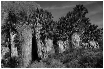 California Fan Palm trees, Cottonwood Spring Oasis. Joshua Tree National Park ( black and white)