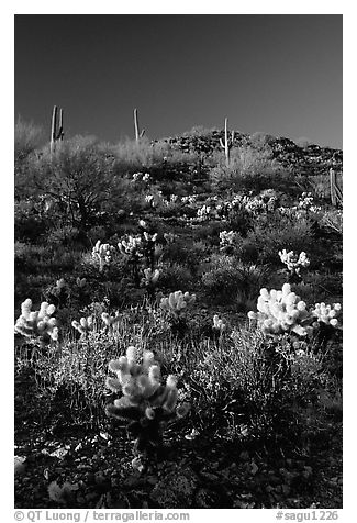 Cholla cactus on hillside. Saguaro National Park (black and white)