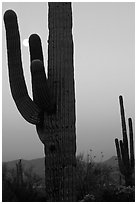 Saguaro cactus and moon, dawn. Saguaro National Park, Arizona, USA. (black and white)