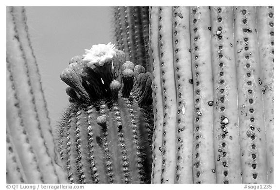 Saguaro cactus with blooms. Saguaro National Park (black and white)