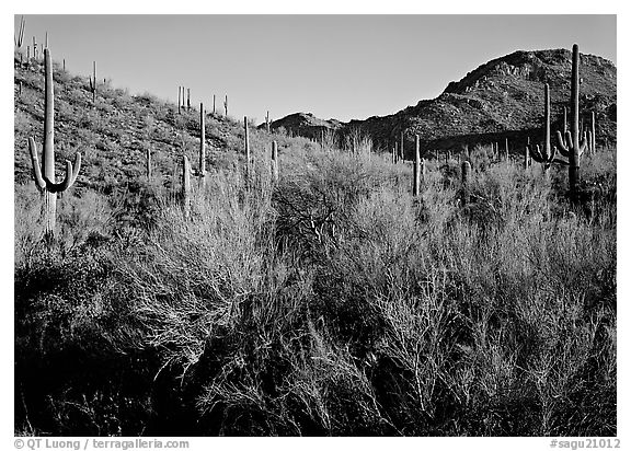 Palo Verde and saguaro cactus on hill. Saguaro  National Park (black and white)